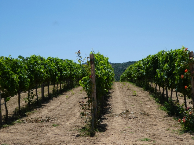 Vines at Vigne Surra, Sardinia