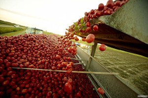 Tomates being harvested